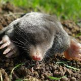 Get Rid of Ground Moles