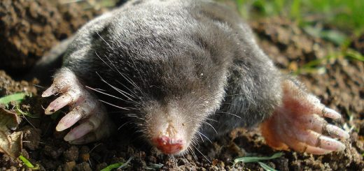 Get Rid of Ground Moles