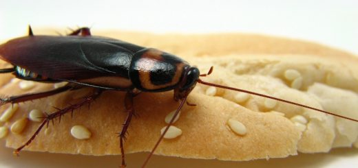 Get Rid of Palmetto Bugs