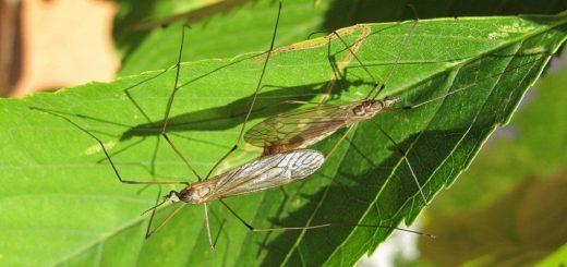 How to get rid of crane flies