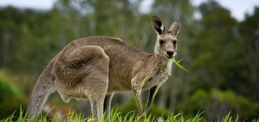 WHAT DO KANGAROOS EAT